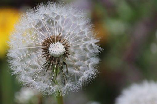 Dandelion, Close Up, Nature, Weed, Flower, Plant