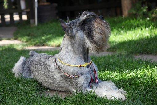 Schnauzer, Dog, Pet, Breed, Pedigree, Bearded