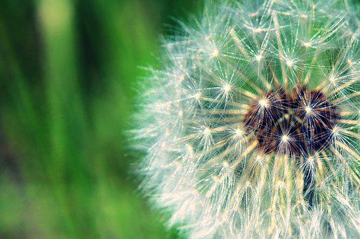 Dandelion, Green, Nature, Flower, Spring, Grass, Garden