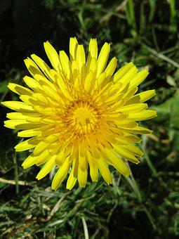 Spring, Dandelion, Close Up, Macro, Plant, Flower