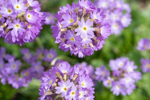 Primroses, Ball Primroses, Flowers, Violet, Purple