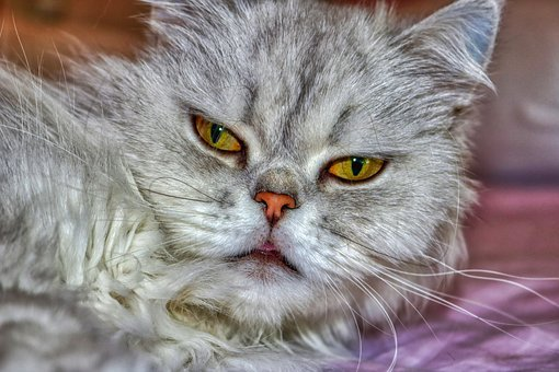 Cat, Persian, Fluffy, Eyes, Grey, Relaxed Cat
