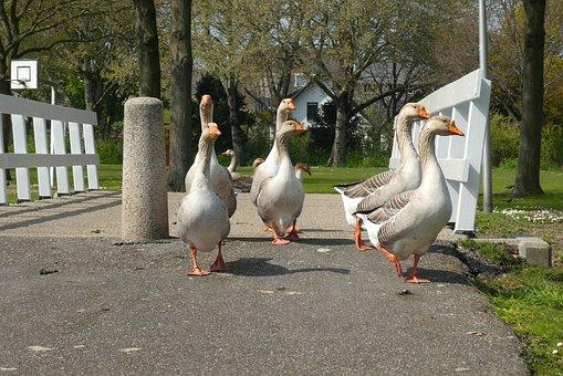Geese, Bridge, Ganzenmars, Follow, Totter, Birds