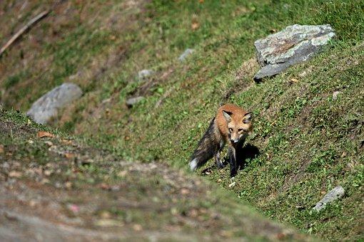 Fox, Road, Predator, Animal, Caution, Nature, Forest