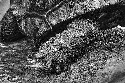 Giant Tortoises, Foot Animals, Water, Panzer, Zoo