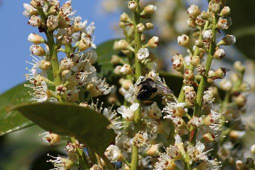 Portuguese Laurel Cherry, Flowers, Bee, Hummel, Spring
