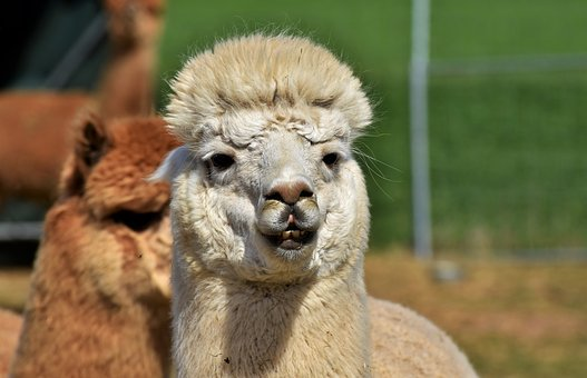 Alpaca, Camel, Furry, Animal, Wool, Livestock, Lama