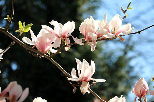 Blossom, Bloom, Spring, Pink, Magnoliengewaechs