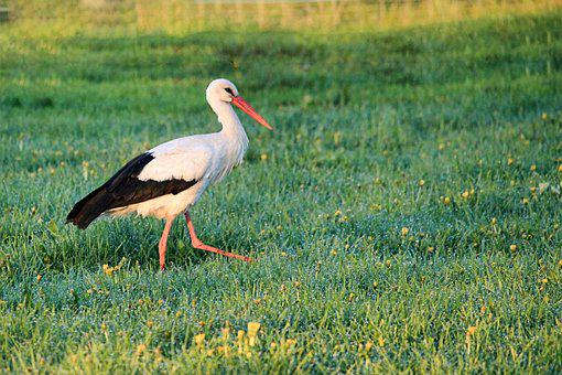 Stork, Meadow, Foraging, Bird, Grass, Bill, Animal