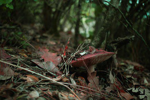Mushroom, Forest, Red, Natural
