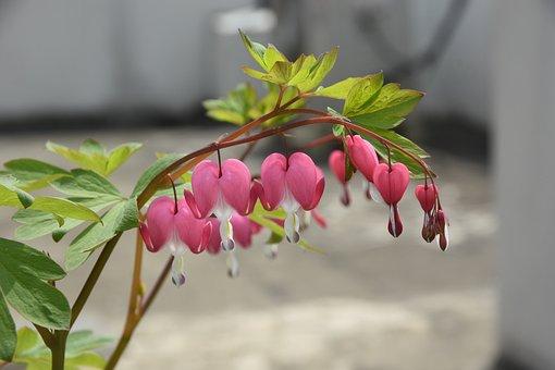 Wildflower, Into The Evening, Bleeding Heart, Nature
