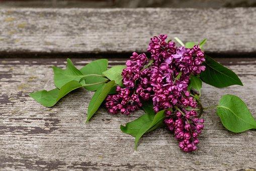 Lilac, Lilac Tree, Fliederblueten, Spring, Nature