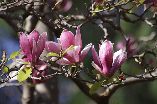 Now Magnolia, Magnolia, My Pen Is All, Japanese Garden