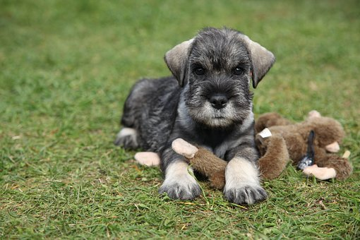 Schnauzer, Dog, Pet, Animals, Dogs, Breed, Pedigree