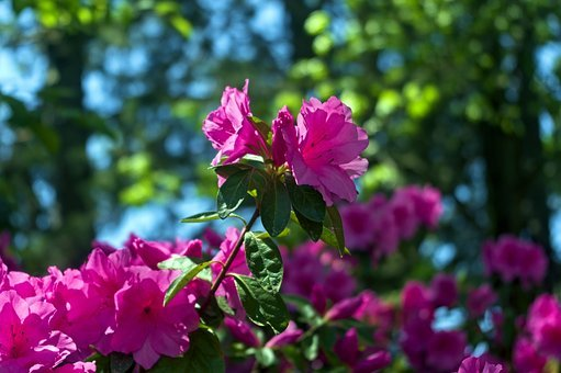Pink Arkansas Ozark Azaleas, Blossoms, Azalea, Bloom