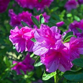Azaleas In Pink, Blossoms, Azalea, Bloom, Spring, Pink