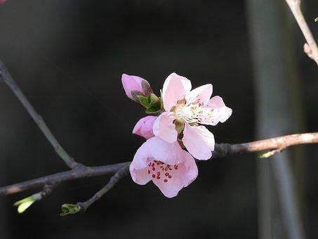 Flower, Tree, Pink, Garden, Branch, Nature, Plant