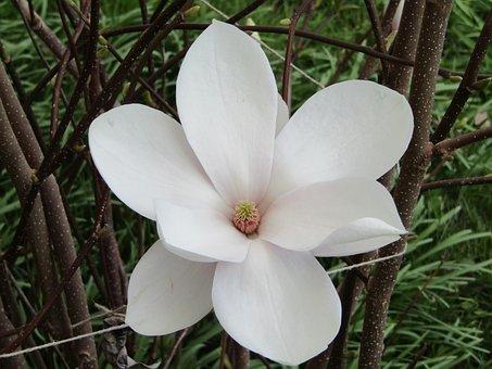 Flower, Nature, Plant, Magnolia, White, Spring, Flowers
