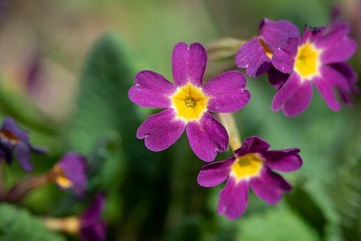 Primroses, Flowers, Purple, Spring, Plant