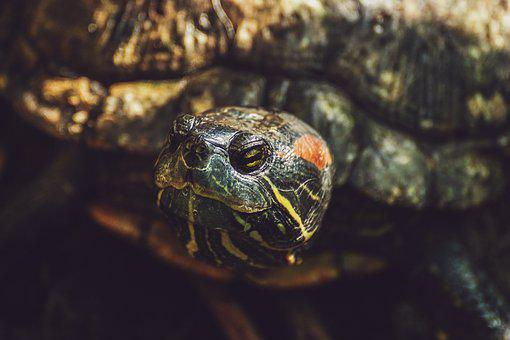 Turtle, Reptile, Armored, Pond, Tropical, Animal World