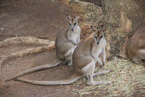 Kangaroo, Twins, Sameness, Native, Marsupial, Standing
