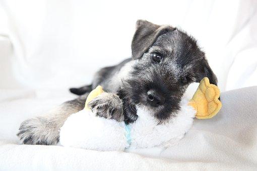 Schnauzer, Dog, Puppy, Mittelschnauzer, Breed, Portrait