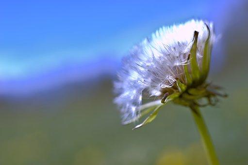Dandelion, Common Dandelion, Taraxacum, Seeds, Blossom