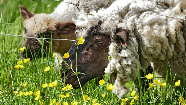 Agriculture, Cattle Breeding, Sheep, Meadow, Flowers
