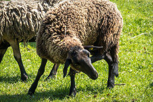 Sheep, Itching, Scratch, Meadow, Pasture, Farm