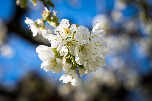 Flowers, Cherry Blossoms, Spring, Bloom, White
