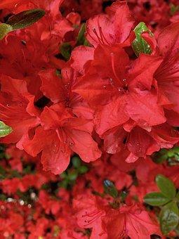 Azalea, Blossom, Red, Garden, Spring, Bloom, Blooming