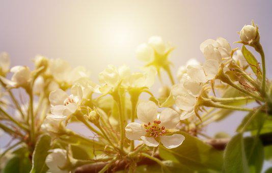 Bulb Flowers, Pear Tree, Pear Blossom, Spring