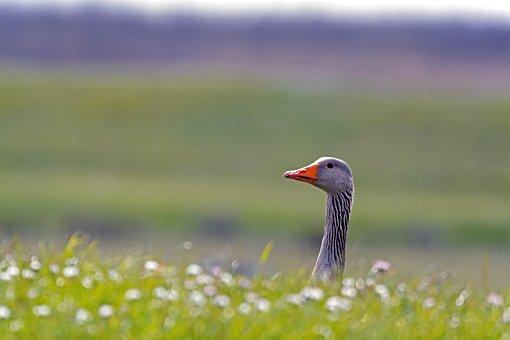 Greylag Goose, Submarine, Seerohr, Grassland, Goose
