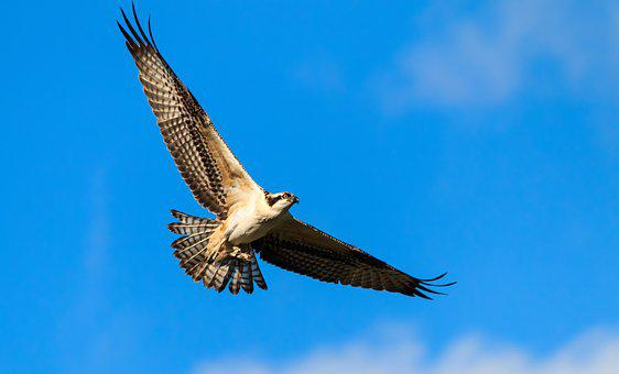 Nature, Wild, Raptor, Osprey, Summer, Fishing, Flight