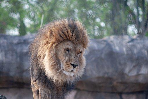 Lion, Wildcat, Zoo, Hunter, Dresden