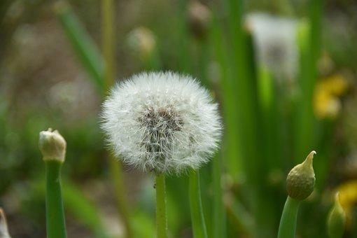 Wildflower, Into The Evening, Dandelion Spores, Nature