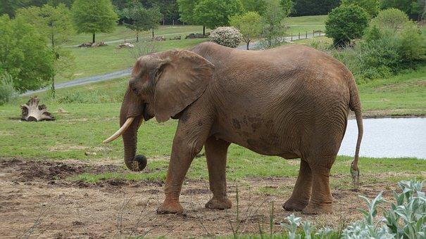 Elephant, Zoo, Animal, Safari, Wildlife, Africa