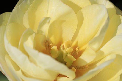Tulip, Double Tulip, Bulb Flower, Yellow, Pestle