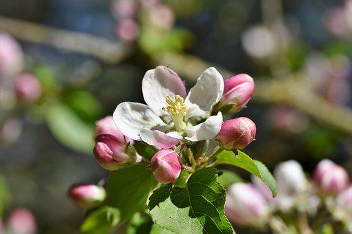 Apple Blossoms, Apple Tree, Apple Tree Flowers, Bloom