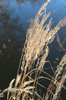 Reed, Water, Grass, Lake, Bach, Autumn, Plant, Nature