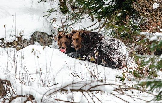 Bear, Widlife, Bavaria, Germany, Wild, Wild Life