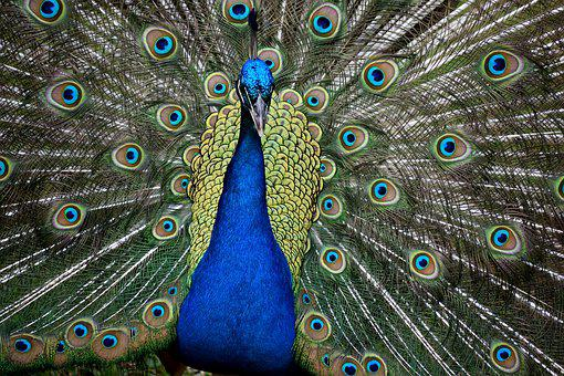 Peacock, Bird, Wildlife, Beauty, Feathers, Wings, Beak