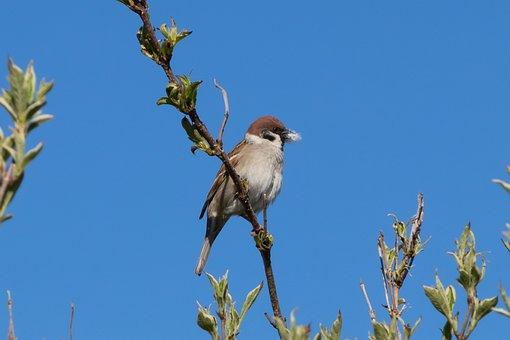 Tree Sparrow, Bird, Sparrow, Branch, Wing, Brown, Black