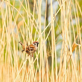 Passer Montanus, Eurasian Tree Sparrow, Sparrow, Bird