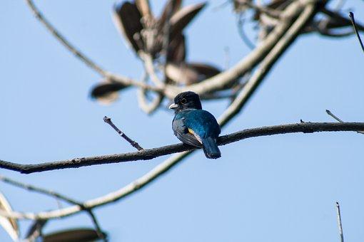 El Salvador, Trogon, Trogon Caligatus, Birds, Nature
