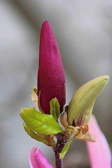 Magnolia, Blossom, Bloom, Spring, Magnolia Blossom