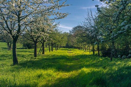 Spring, Fruit Trees, Flowers, Bloom, Blossom, White