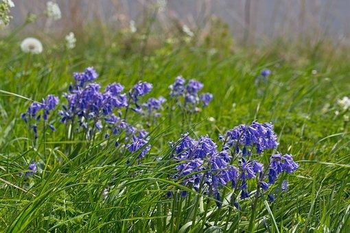 Flowers, Berm, Blue, Spring, Flower, Nature, Bloom
