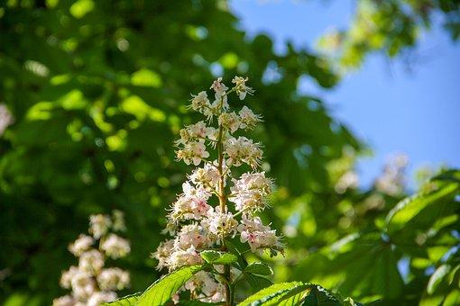 Spring, Horse Chestnut, Wood, Chestnut, Bud, Branch