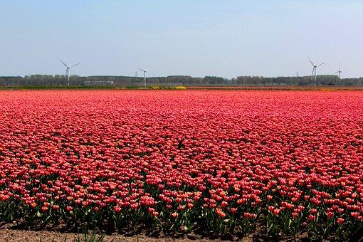 Tulip Fields, Bulbs, Tulips, Netherlands, Bulb Fields
